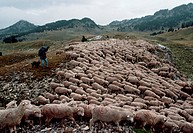 A shepherd herds dozens of sheep during the transhumance, which is the transfer of livestock between summer mountain meadows and winter valley pasture...