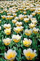 Tulips _ Jaap Groot varieties