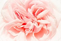 Historic rose _ Souvenir de la Malmaison