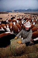 Rancher Tending Cow Herd