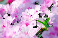 Pink Blossom. Close_Up of Azalea Flower.