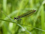 female banded agrion damselfly