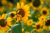 Beautiful sun flowers