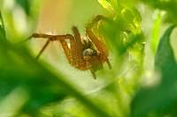 Funnel Web Weaver Spider Agelenopsi
