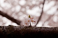 Single cherry blossom on branch