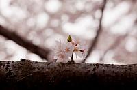 Single cherry blossom on branch