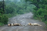 Two male Lions Panthera leo enjoying lying out in the rain Hluhluwe-Imfolozi Game Reserve, Kwazulu-Natal