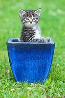 Kitten, playing in plant pot on garden lawn, Lower Saxony, Germany
