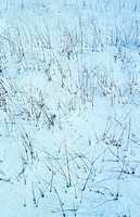 Spike reeds growing in snow covered field, Norfolk Broads, East Anglia, England