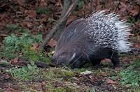 African crested porcupine, hystrix cristata, porcupine, animal, prickles,