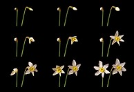 two narcissi flowering, time lapse
