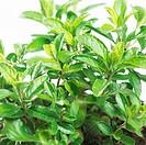 Sage Salvia hygrophilla nevrapa