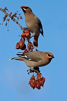 A pair of Bohemian Waxwings perched on branches eat red crabapple fruit, Anchorage, Southcentral Alaska, Winter