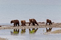 Four spring Brown Bear cubs walk along the spit while their reflections are caught in a pool, Brooks Camp, Katmai National Park, Southwest, Alaska, Su...