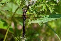 Dragon fly hanging on a purple bud, Alaska, Summer