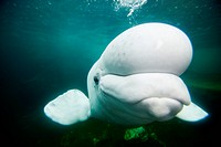 CAPTIVE Beluga whale swimming underwater at an aquarium, Mystic, Connecticut USA