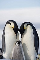 Emperor Penguin pair and chick on frozen sea ice of Weddel Sea, Snow Hill Island, Antarctic