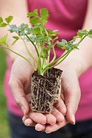 Hands holding a celeriac seedling