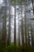USA, California, Redwood National Park, Trees in fog