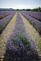 France, Drome, Piegros_la_Clastre, Lavender field