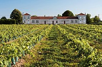 Vineyard of Cognac, Gondeville, Charente departement, Poitou Charentes region, France