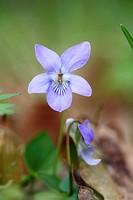 Dog violet Viola riviniana Stockholm Sweden.
