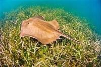 southern stingray, Dasyatis americara, swimming over seagrasses meadow of turtlegrasses, Thalassia testudinum, in shallow flats, Stiltsville, Biscayne...