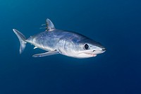 shortfin mako shark, Isurus oxyrinchus, with parasitic copepods, very aggressive and the fastest swimmer of all shark species, San Diego, California, ...