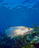 Atlantic tarpon, Megalops atlanticus, swimming over coral reef, grows up to 2 m 6 6 ft in length and could weigh as much as 160 kg 350 lb, Looe key, F...