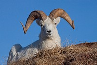 Close up of a ram Dall Sheep laying on a hillside in Denali National Park and Preserve, Interior Alaska, Spring