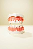 Studio shot of human teeth model