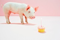 Piglet looking at birthday cake in studio
