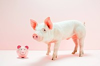 Piglet with piggybank in studio