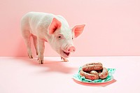 Piglet looking at plate of sausages in studio (thumbnail)