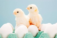 Chicks on top of eggs, studio shot