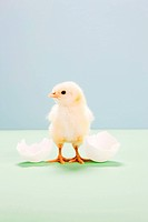 Chick standing by broken egg, studio shot