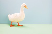 Duck walking, studio shot