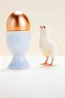 Chick looking at golden egg in eggcup, studio shot