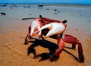 Little red intertidal crab, Fraser Island World Heritage Area, Queensland, Australia
