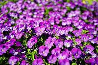 Latin name: Viola tricolor subsp. hortensis.