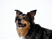 This cross breed mix is also sometimes known as a Border_Aussie.