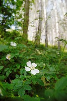 Rosa canina, Dog Rose in coniferous woodland, Wales