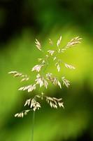 Holcus lanatus, Yorkshire Fog grass in flower