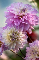 A Group of Lavender Pink and White Dahlia Flowers