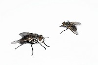 Two houseflies, close_up