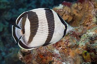 Underwater Life FISH: A Banded Butterflyfish Chaetodon striatus swimming over a tropical coral reef in the Caribbean Sea. Grand Cayman, Cayman Islands...