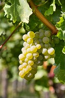 Close Up of White Grapes on Vine