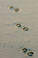 Dog´s footsteps on the beach in Puerto Arista, Mexico