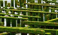 Ocean Pier Ruins birds