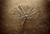 fossil of Jurassic fern